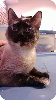 Siamese Cat for adoption in Parkville, Missouri - Sloane