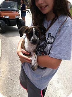 Cattle Dog/Beagle Mix Puppy for adoption in Fair Oaks Ranch, Texas - Birdie