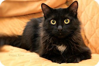 Domestic Mediumhair Cat for adoption in Sterling Heights, Michigan - Baby Girl-ADOPTED