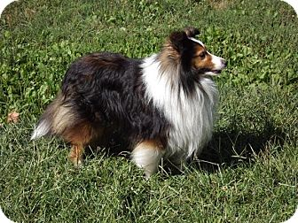 Sheltie, Shetland Sheepdog Dog for adoption in Abingdon, Maryland - Jackson