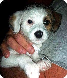 Rat Terrier Mix Puppy for adoption in Ft. Lauderdale, Florida - Felix