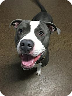 American Pit Bull Terrier Mix Puppy for adoption in Cranston, Rhode Island - Parish