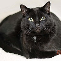 Domestic Shorthair Cat for adoption in Santa Fe, New Mexico - Harlee