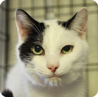 Domestic Shorthair Cat for adoption in Winston-Salem, North Carolina - Preston