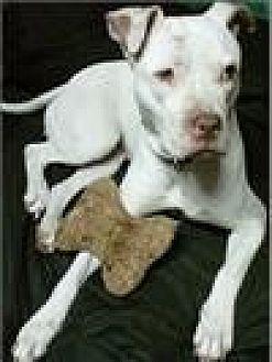 Pit Bull Terrier Dog for adoption in Freeport, New York - Bianca