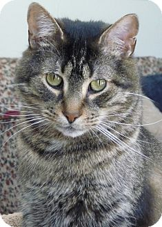 Domestic Shorthair Cat for adoption in Sunderland, Ontario - Marley