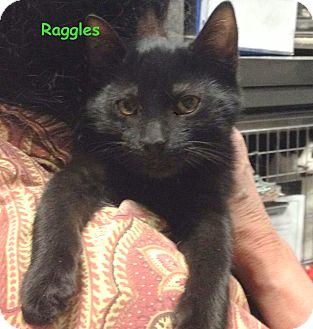 Domestic Shorthair Kitten for adoption in Cliffside Park, New Jersey - RAGGLES