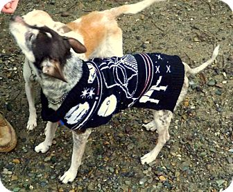 Rat Terrier Dog for adoption in Libby, Montana - Joley