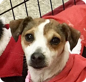 Jack Russell Terrier Puppy for adoption in Lancaster, California - Olivia