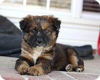 Australian Shepherd/Border Collie Mix Puppy for adoption in Mayflower, Arkansas - Belle