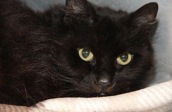 Domestic Mediumhair Cat for adoption in Marietta, Ohio - Jasper (Neutered)