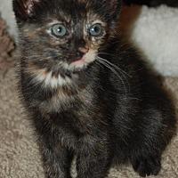 Adopt A Pet :: KITTENS-LUCY & HENRYS - DeLand, FL