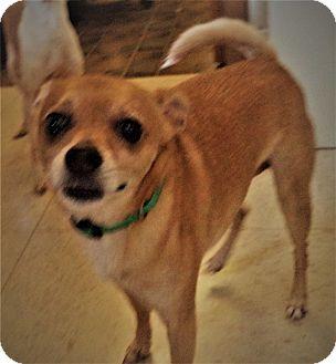 Chihuahua Mix Dog for adoption in Nixa, Missouri - Peanut #1170x
