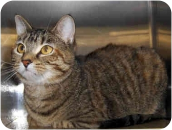 Domestic Shorthair Cat for adoption in Overland Park, Kansas - Cassie