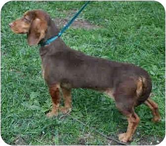 Dachshund/Hound (Unknown Type) Mix Dog for adoption in Old Bridge, New Jersey - Melissa