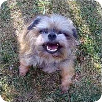 Affenpinscher Dog for adoption in Sun Prairie, Wisconsin - Flint in Madison, WI.