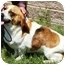 Photo 4 - Basset Hound Dog for adoption in Osseo, Minnesota - Tabby and Toby