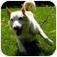 Photo 3 - Jack Russell Terrier/Australian Cattle Dog Mix Dog for adoption in Bellevue, Nebraska - Red Dog