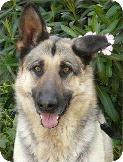 German Shepherd Dog Dog for adoption in Los Angeles, California - Chyna von Cloverdahl