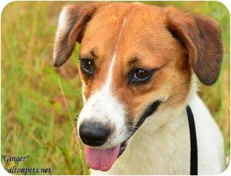 Beagle/Jack Russell Terrier Mix Dog for adoption in Monroe, Georgia - Ginger