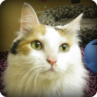 Domestic Longhair Cat for adoption in Weatherford, Texas - Kamryn