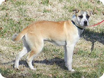 Mountain Cur/Terrier (Unknown Type, Small) Mix Dog for adoption in Lawrenceburg, Tennessee - Cindy