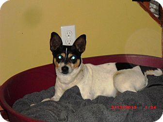 Toy Fox Terrier Dog for adoption in Treton, Ontario - Artie