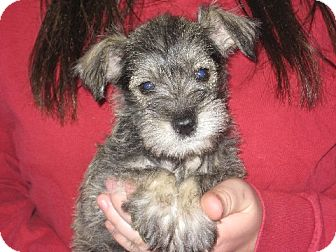 Schnauzer (Miniature) Puppy for adoption in Greenville, Rhode Island - Anja