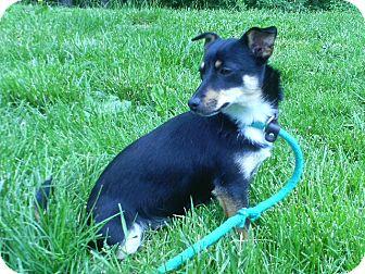 Chihuahua/Dachshund Mix Dog for adoption in Staunton, Virginia - Sophia