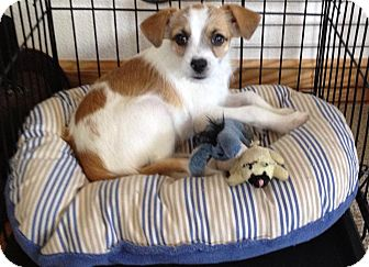 Terrier (Unknown Type, Small) Mix Puppy for adoption in Ft. Collins, Colorado - Siri