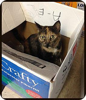 Domestic Shorthair Cat for adoption in Hamburg, New York - CUPCAKE