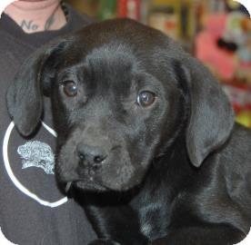 Labrador Retriever Mix Puppy for adoption in Brooklyn, New York - Tracy