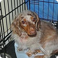 Adopt A Pet :: SPECKLES - Riverside, CA