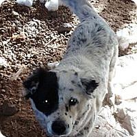 Adopt A Pet :: Fig - Scottsdale, AZ