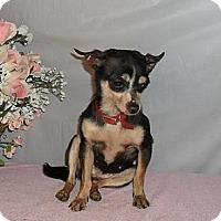 Adopt A Pet :: Tinker Bell - Chandlersville, OH