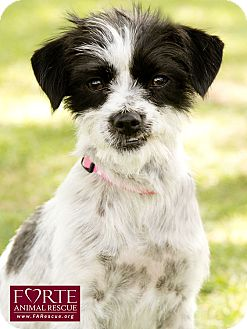 Terrier (Unknown Type, Small) Mix Dog for adoption in Marina del Rey, California - Poppy