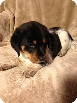Australian Shepherd/Beagle Mix Puppy for adoption in ST LOUIS, Missouri - Doc