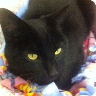 Domestic Shorthair Cat for adoption in Port Angeles, Washington - Ross