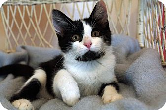 Domestic Shorthair Kitten for adoption in St. Louis, Missouri - Justin