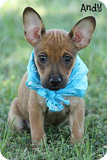 Rat Terrier/Hound (Unknown Type) Mix Puppy for adoption in Brattleboro, Vermont - Andy