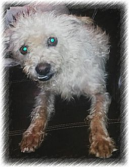 Brussels Griffon/Wirehaired Fox Terrier Mix Dog for adoption in San Bernardino, California - Chewbacca
