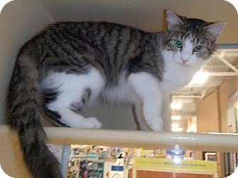 Domestic Mediumhair Cat for adoption in North Wilkesboro, North Carolina - Mercedes
