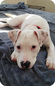 American Staffordshire Terrier Mix Puppy for adoption in Livonia, Michigan - Isabella-ADOPTED