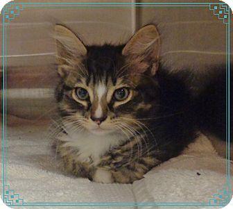 Domestic Mediumhair Kitten for adoption in Marietta, Georgia - OSCAR available 7/27