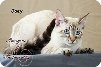 Domestic Shorthair Kitten for adoption in Oklahoma City, Oklahoma - Joey