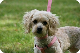 Maltese/Poodle (Miniature) Mix Dog for adoption in Carlsbad, California - Bella