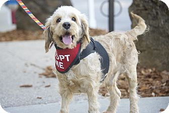 Poodle (Miniature)/Terrier (Unknown Type, Small) Mix Dog for adoption in Van Nuys, California - Walter