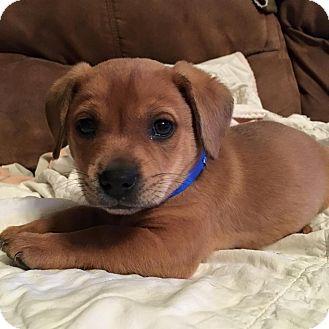 Dachshund/Beagle Mix Puppy for adoption in Brunswick, Maine - Zeus