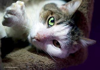 Domestic Shorthair Cat for adoption in Tucson, Arizona - Stitch