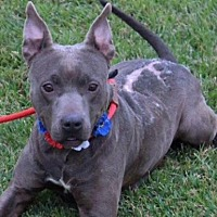 American Pit Bull Terrier Mix Dog for adoption in Slidell, Louisiana - Joan of Arc
